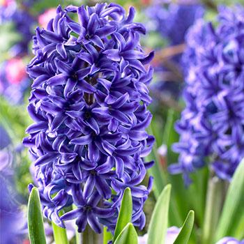 Hyacinths Blue Jacket