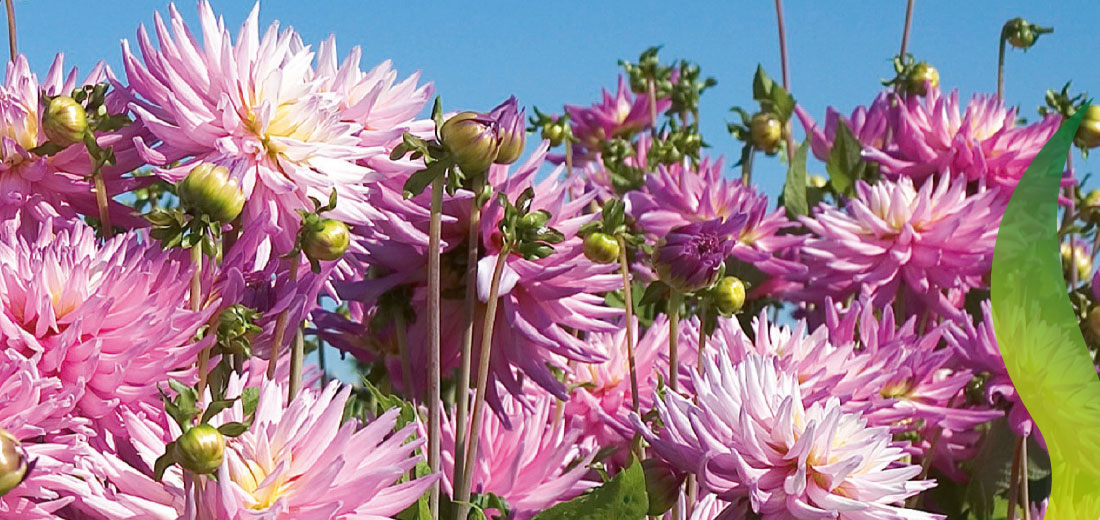 Spring Catalog Ruigrok Flowerbulbs