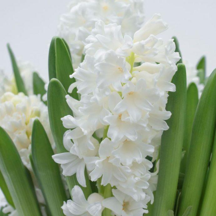 Hyacinthus Orientalis 'Aiolos'