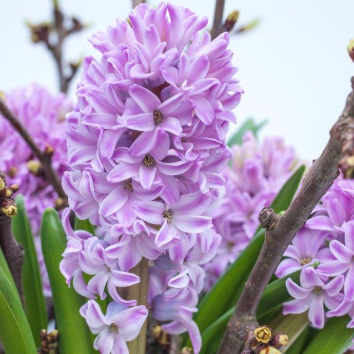 Hyacinthus Orientalis 'Splendid Cornelia'
