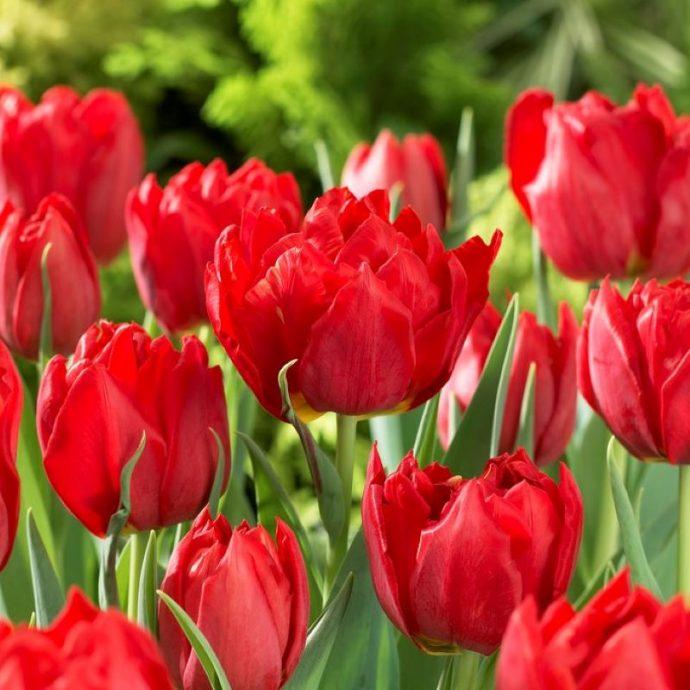 Tulipa Double Early 'Abba'