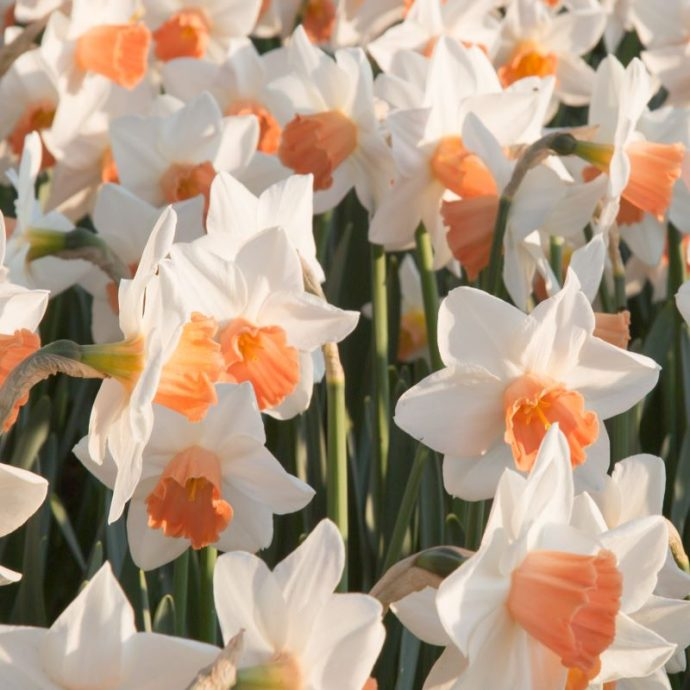 Narcissus Large Cupped 'Accent'