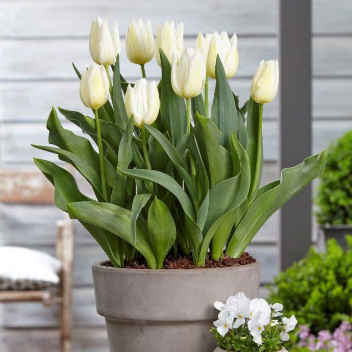 Tulipa Triumph 'Agrass White'
