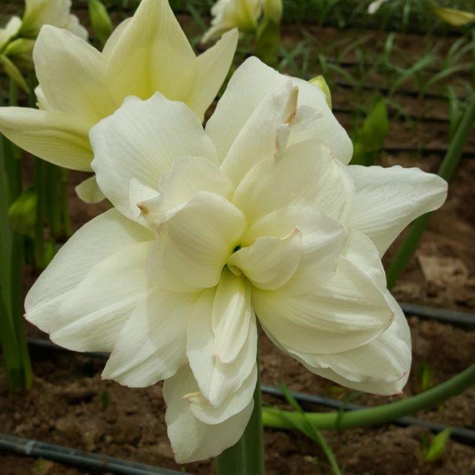Amaryllis Peruvian 'Alasca'
