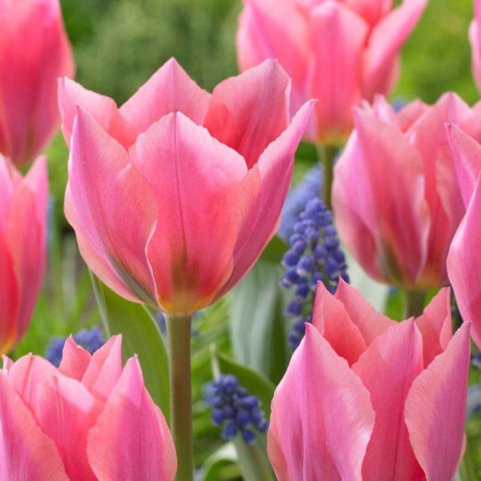 Tulipa Emperor 'Albert Heijn'