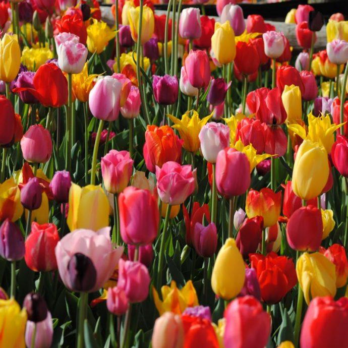 Tulipa Long-lasting Mixture 'All Season Mix'