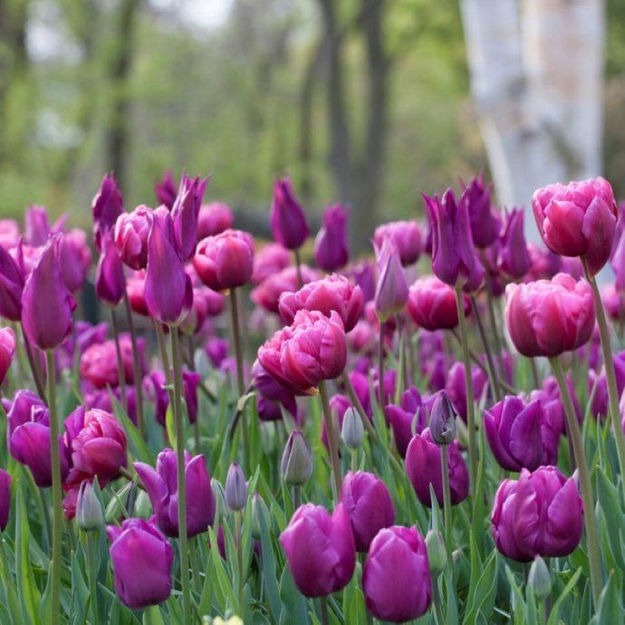 Tulipa Long-lasting Mixture 'All Season Purple Mix'