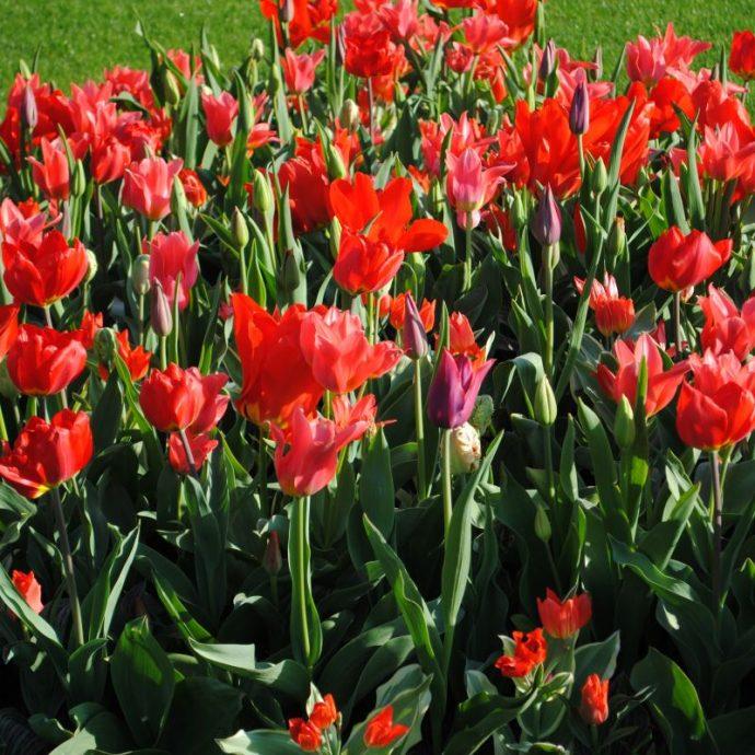 Tulipa Long-lasting Mixture 'All Season Red Mix'