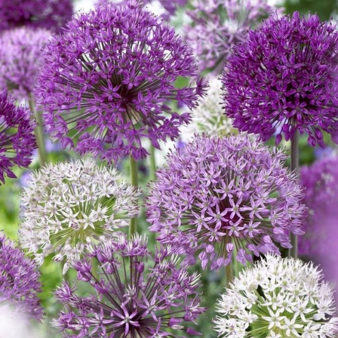Allium Giant 'Giant Mixture'