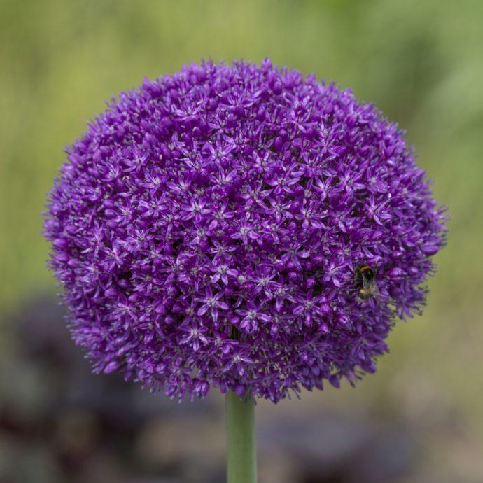 Allium Giant 'Ambassador'