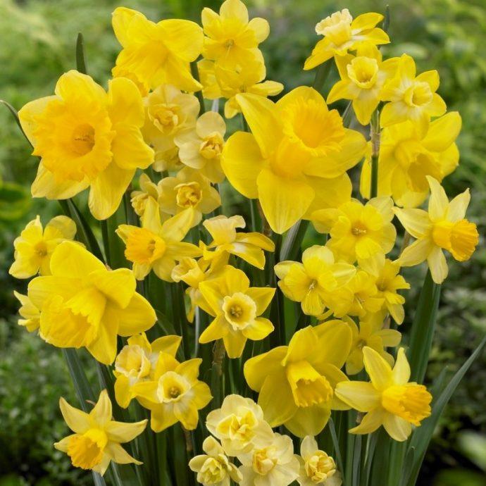 Narcissus Long-lasting Mixture 'Amsterdam Mixture'