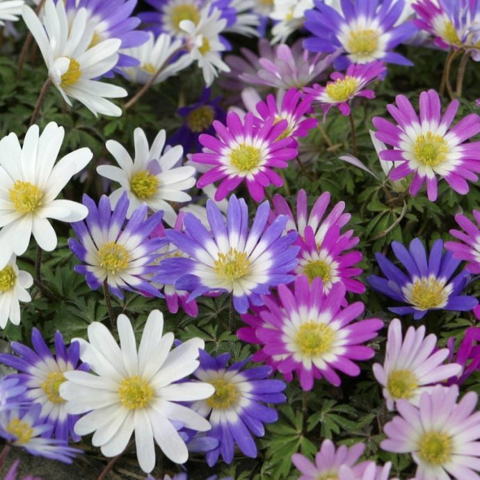 Anemone Blanda 'Mixture'