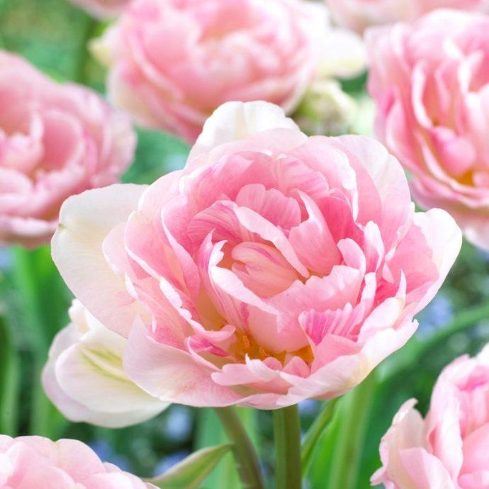 Tulipa Double Late 'Angelique'