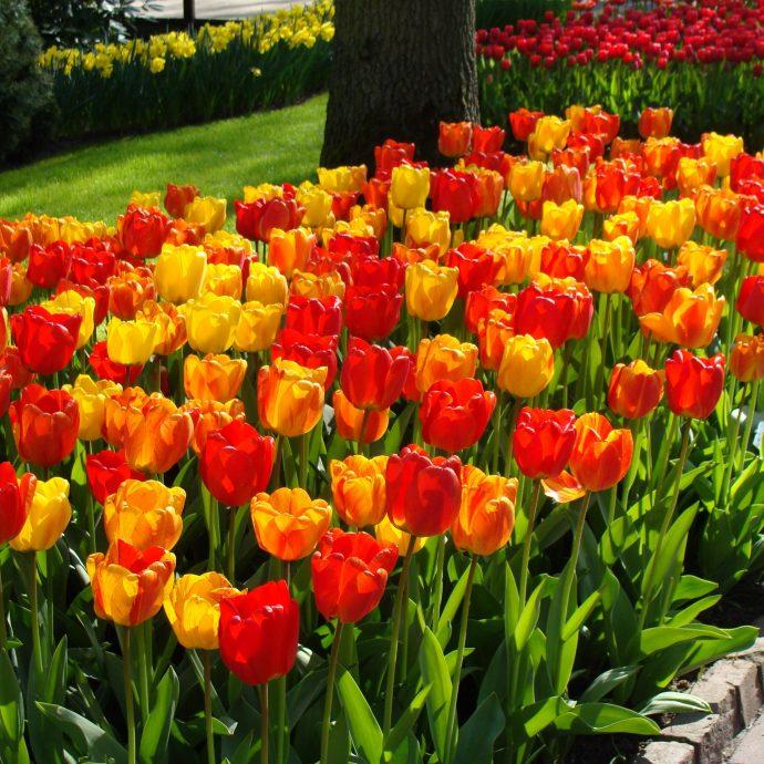 Tulipa Darwin Hybrid 'Apeldoorn Mixture'
