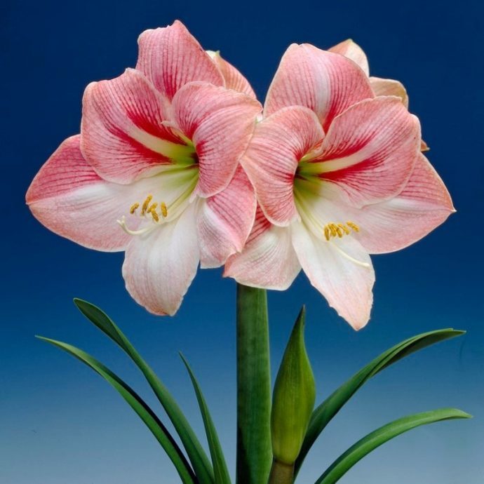Amaryllis Dutch 'Apple Blossom'