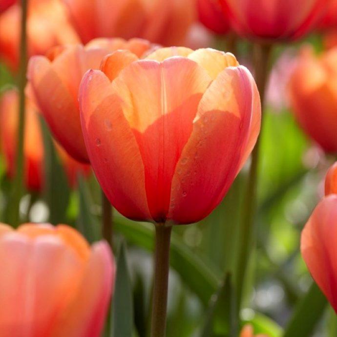 Tulipa Darwin Hybrid 'Apricot Impression'