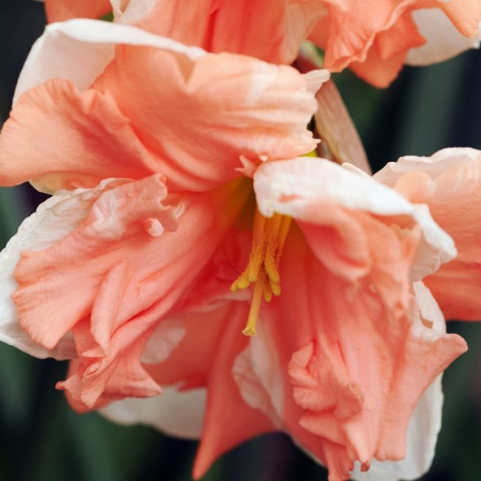 Narcissus Butterfly 'Apricot Whirl'