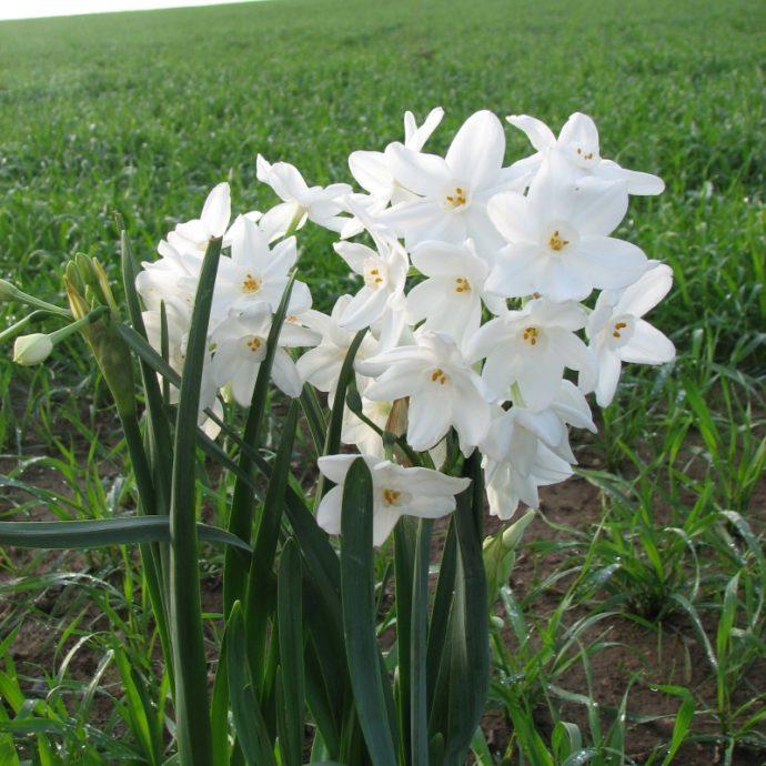 Narcissus Tazetta 'Ariel'