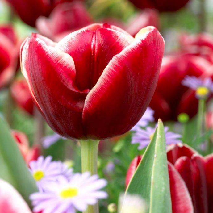 Tulipa Triumph 'Armani'