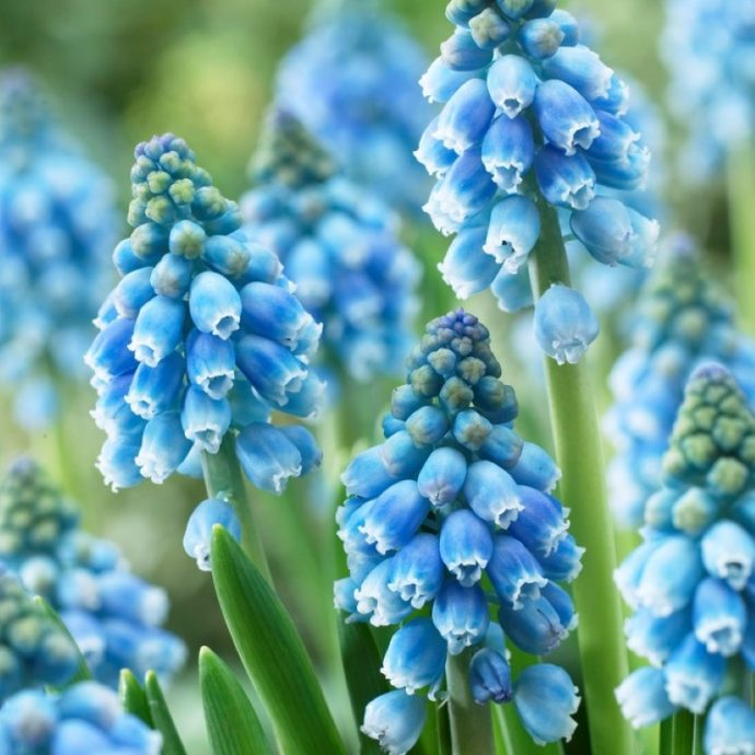 Muscari Armeniacum 'Atlantic'