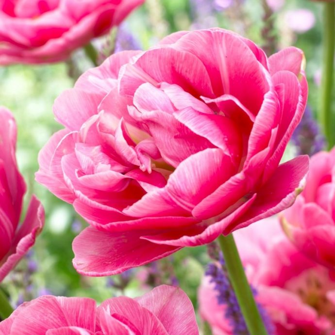 Tulipa Double Late 'Aveyron'