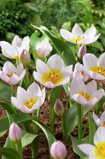 Tulipa Miniature 'Bakeri Lilac Wonder'