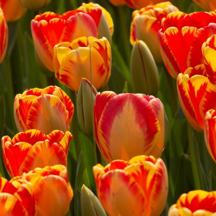 Tulipa Darwin Hybrid 'Banja Luka'