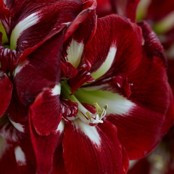 Amaryllis Dutch 'Barbados'
