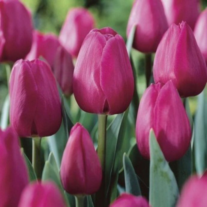 Tulipa Triumph 'Barcelona'