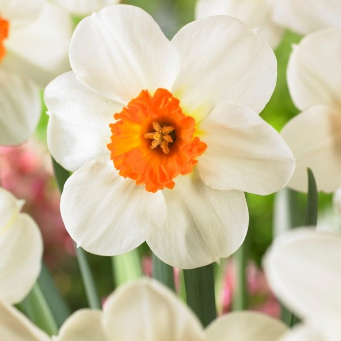 Narcissus Small Cupped 'Barrett Browning'