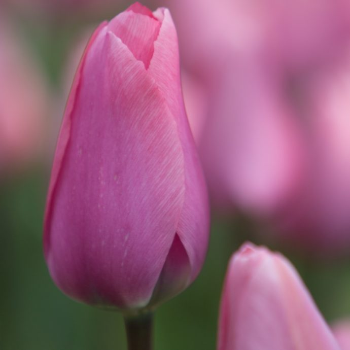 Tulipa Darwin Hybrid 'Big Love'