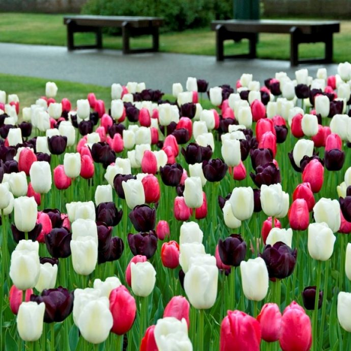 Tulipa Single Late 'Black & White Cookie Mix'