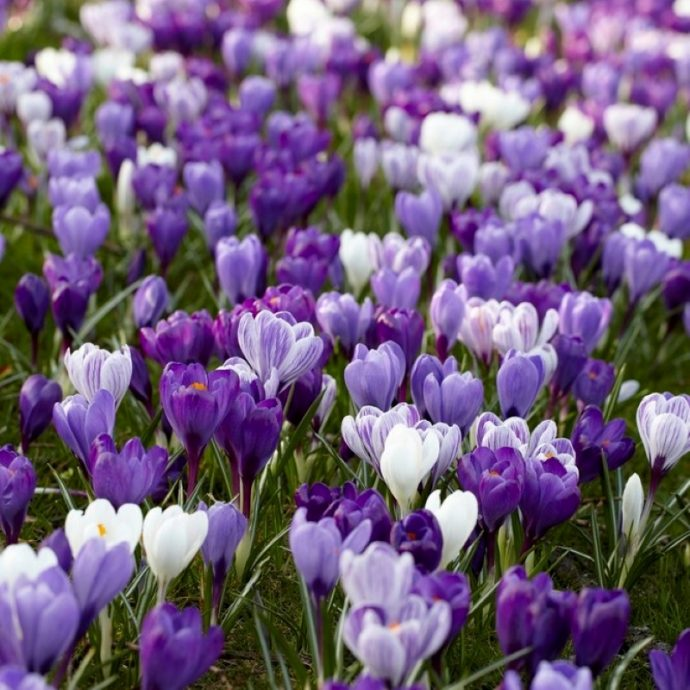 Crocus Large Flowering 'Blue Moon Mixture'