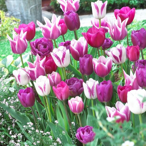 Tulipa Long-lasting Mixture 'Blue Ribbon Mixture'