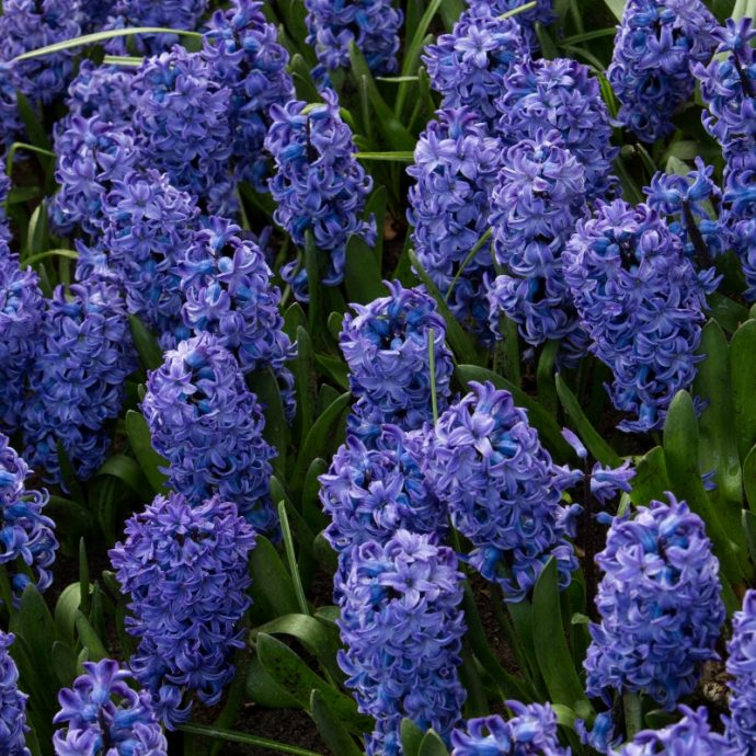 Hyacinthus Prepared 'Blue Star'