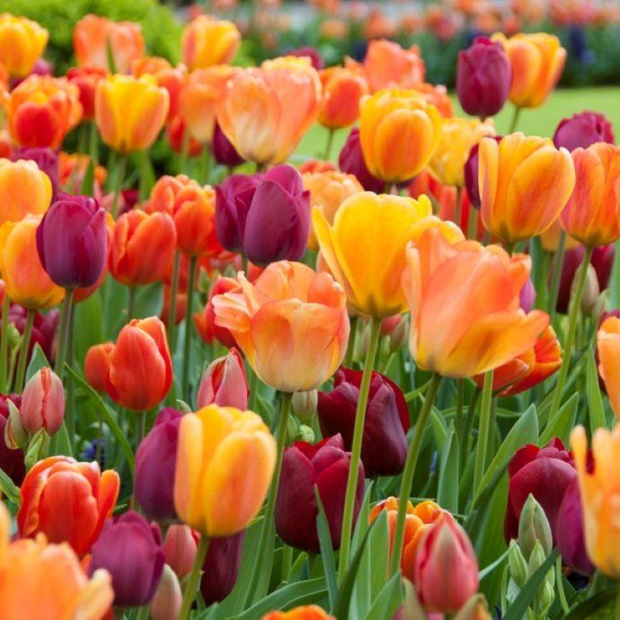 Tulipa Triumph 'Blushing Purple Mixture'
