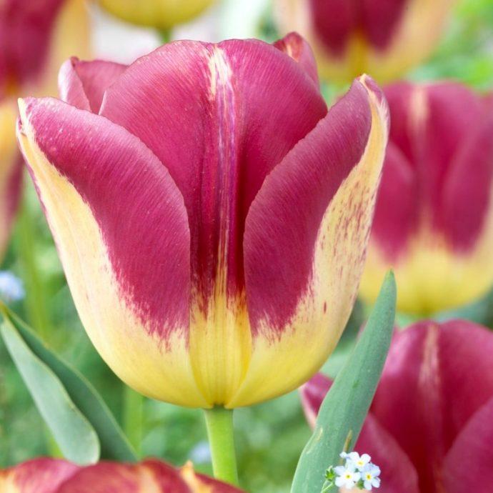 Tulipa Triumph 'Boston'