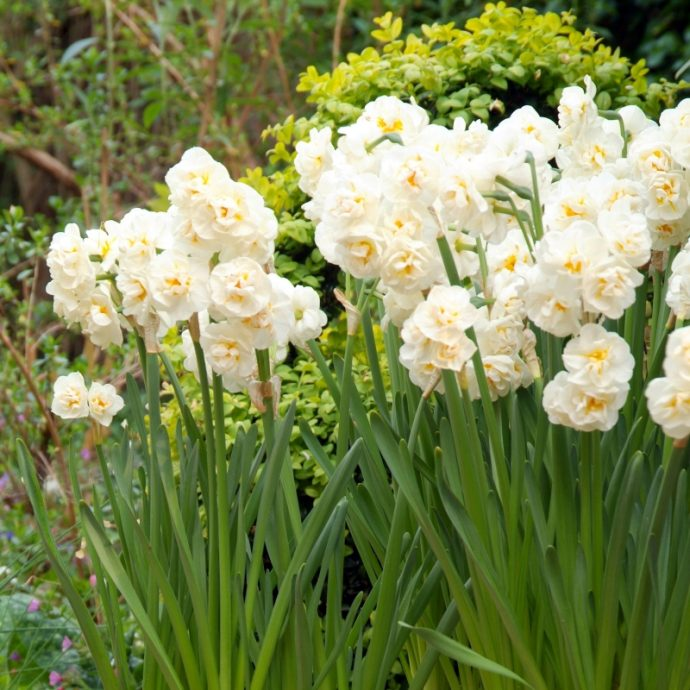 Narcissus Bunch Flowering 'Bridal Crown'