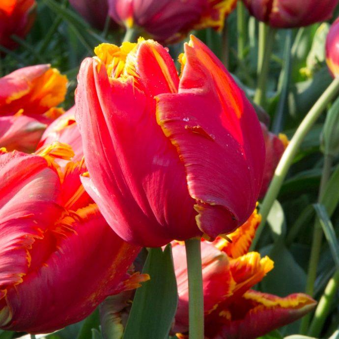 Tulipa Parrot 'Bright Parrot'