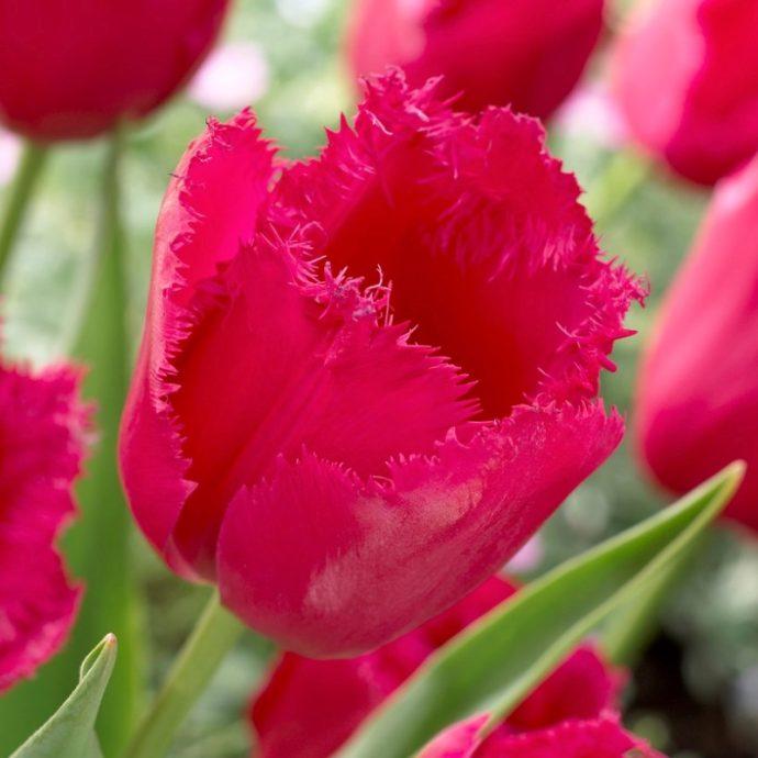 Tulipa Fringed 'Burgundy Lace'