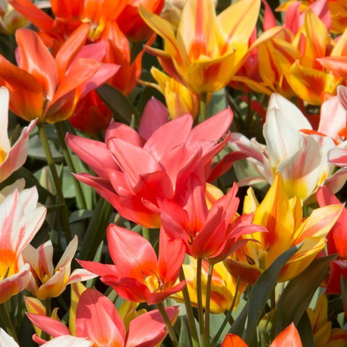 Tulipa Greigii 'Canada Pride Mixture'