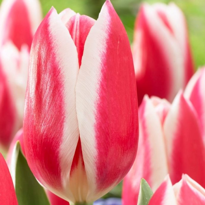 Tulipa Darwin Hybrid 'Candy Apple Delight'