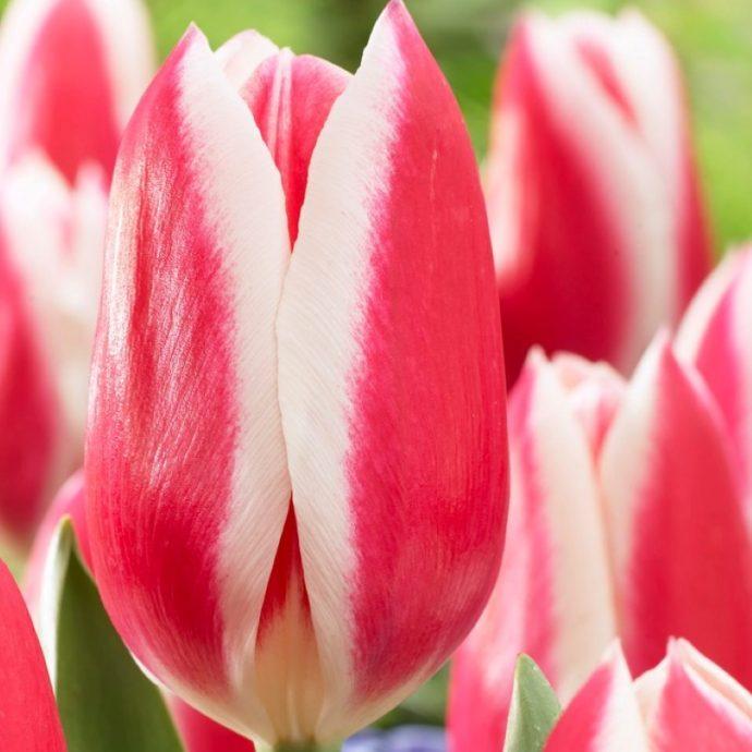 Tulipa Darwin Hybrid 'Candy Apple Delight'
