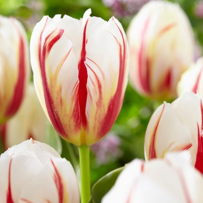 Tulipa Triumph 'Carnaval De Rio'