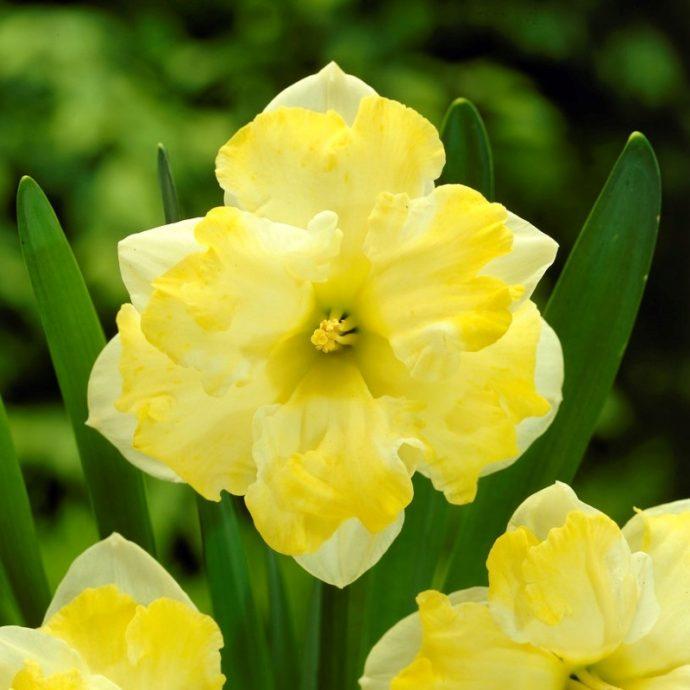 Narcissus Butterfly 'Cassata'