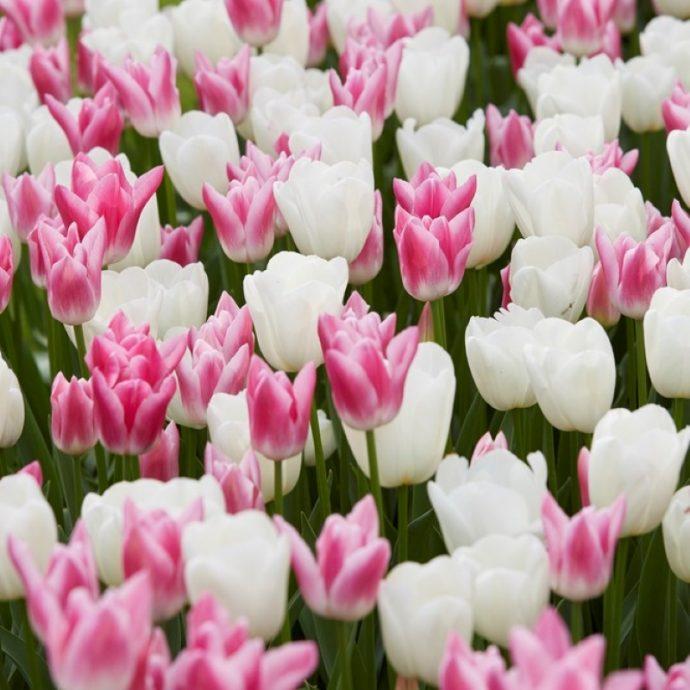 Tulipa Triumph 'Celebrity Mixture'