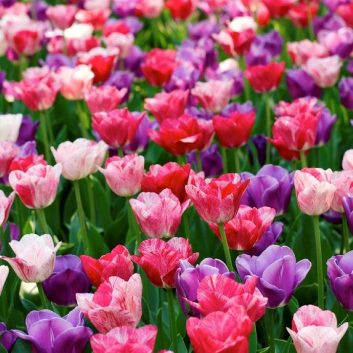 Tulipa Triumph 'Changing Colors Mixture'