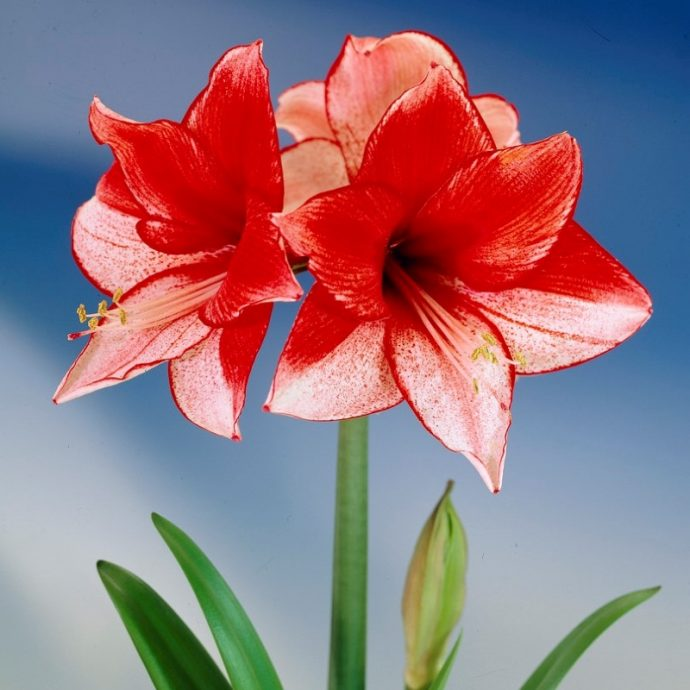 Amaryllis Dutch 'Charisma'