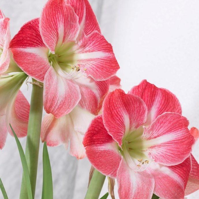 Amaryllis Peruvian 'Cherry Blossom'
