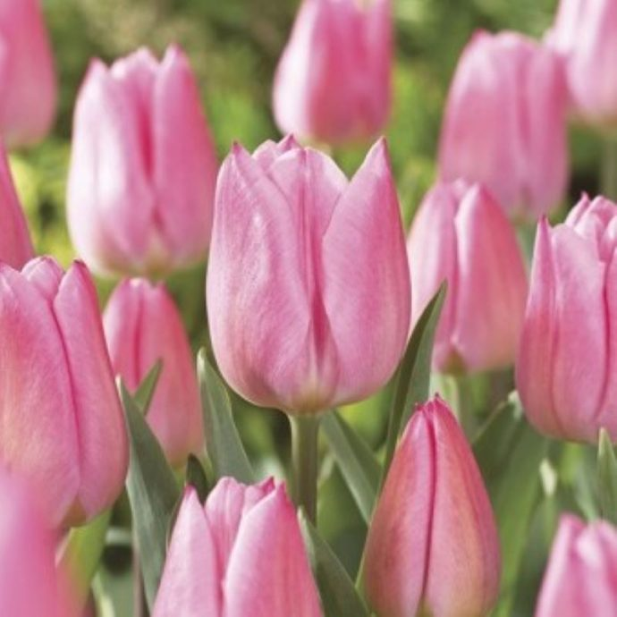 Tulipa Single Early 'Christmas Dream'